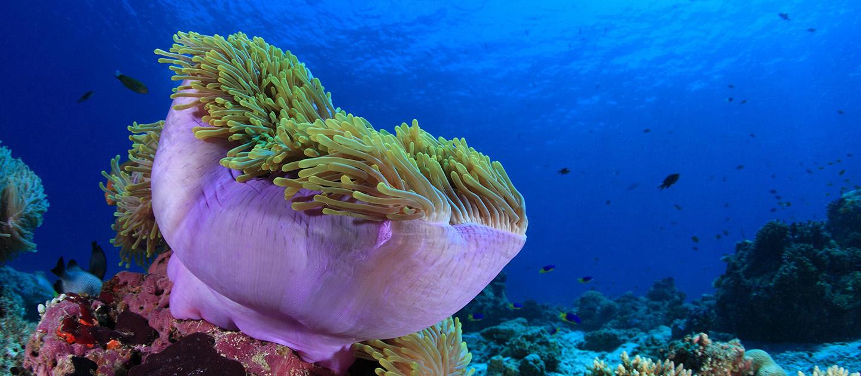 Anemone Reef Phuket Sirolodive.com